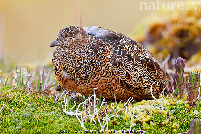 Rufous bellied Seedsnipe (Attagis gayi) perched on paramo vegetation in the highlands of Ecuador.  ,  BIRDS,CAMOUFLAGE,GROUND,HIGHLANDS,PORTRAITS,PROFILE,ROOSTING,SEEDSNIPE,SOUTH AMERICA,VERTEBRATES  ,  Visuals Unlimited