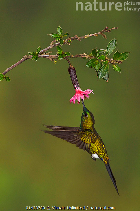 Sapphire-vented Puffleg (Eriocnemis luciani) hovering and feeding at a flower at the Yanacocha Reserve, Quito, Ecuador.  ,  ACTION,BIRDS,COPYSPACE,FEEDING,FLIGHT,FLOWERS,FLYING,HOVERING,HUMMINGBIRD,HUMMINGBIRDS,IRRIDESCENT,PLANTS,PORTRAITS,PROFILE,SOUTH AMERICA,VERTEBRATES,VERTICAL  ,  Visuals Unlimited