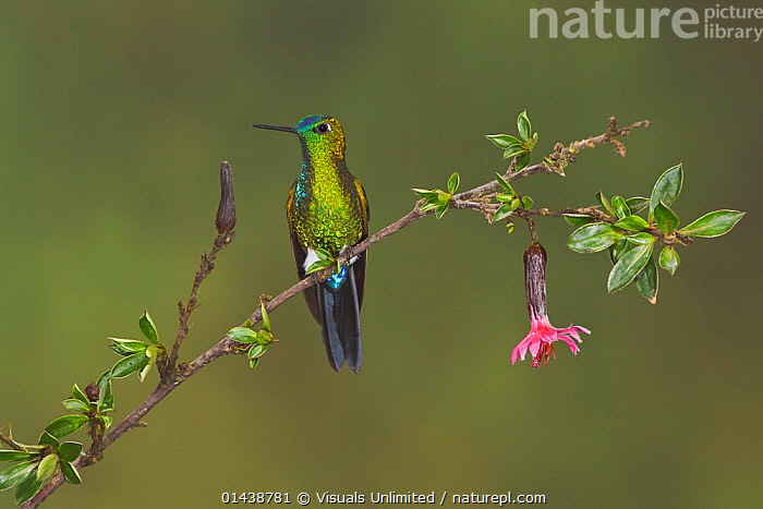 Sapphire-vented Puffleg (Eriocnemis luciani) male perched on a branch at the Yanacocha Reserve, Quito, Ecuador.  ,  BIRDS,COPYSPACE,FLOWERS,HUMMINGBIRD,HUMMINGBIRDS,IRRIDESCENT,MALES,PORTRAITS,PROFILE,SOUTH AMERICA,VERTEBRATES  ,  Visuals Unlimited
