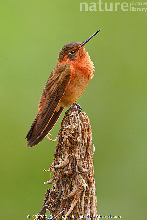 Shining Sunbeam (Aglaeactis cupripennis) perched on a branch near the Papallacta Pass in the highlands of central Ecuador.  ,  BIRDS,COPYSPACE,CUTOUT,HUMMINGBIRDS,PORTRAITS,PROFILE,SOUTH AMERICA,VERTEBRATES,VERTICAL  ,  Visuals Unlimited