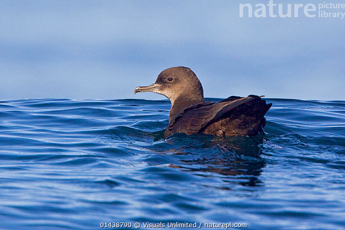 Sooty Shearwater (Puffinus griseus) swimming on the ocean near Victoria, British Columbia, Canada.  ,  BIRDS,CANADA,MARINE,NORTH AMERICA,SEA,SEABIRDS,SHEARWATERS,SURFACE,SWIMMING,VERTEBRATES  ,  Visuals Unlimited