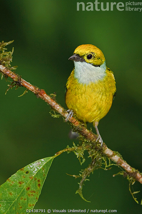 Silver throated Tanager (Tangara icterocephala) perched on a branch in the Milpe Reserve in northwest Ecuador.  ,  BIRDS,COPYSPACE,CUTOUT,PORTRAITS,PROFILE,SONGBIRDS,SOUTH AMERICA,TANAGERS,THRAUPIDAE,VERTEBRATES,VERTICAL  ,  Visuals Unlimited