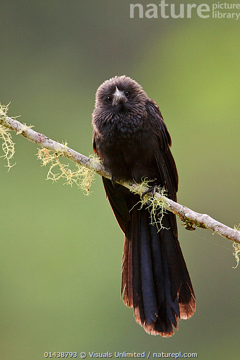 Smooth billed Ani (Crotophaga ani) perched on a branch near Podocarpus National Park in southeast Ecuador.  ,  BIRDS,COPYSPACE,CUCKOOS,CUTOUT,LOOKING AT CAMERA,NATIONAL PARK,NP,PORTRAITS,RESERVE,SOUTH AMERICA,VERTEBRATES,VERTICAL  ,  Visuals Unlimited
