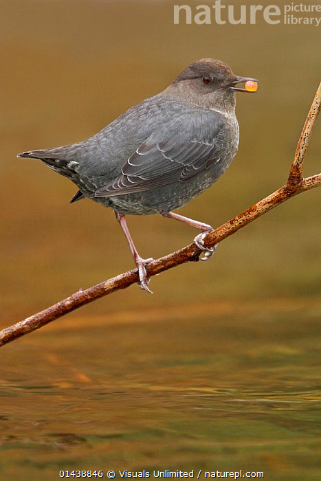 American Dipper (Cinclus mexicanus) perched on a branch with berry in beak, Victoria, British Columbia, Canada.  ,  BERRIES,BIRDS,CANADA,CINCLIDAE,COPYSPACE,CUTOUT,DIPPERS,FEEDING,NORTH AMERICA,PORTRAITS,PROFILE,SONGBIRDS,VERTEBRATES,VERTICAL,WATER  ,  Visuals Unlimited