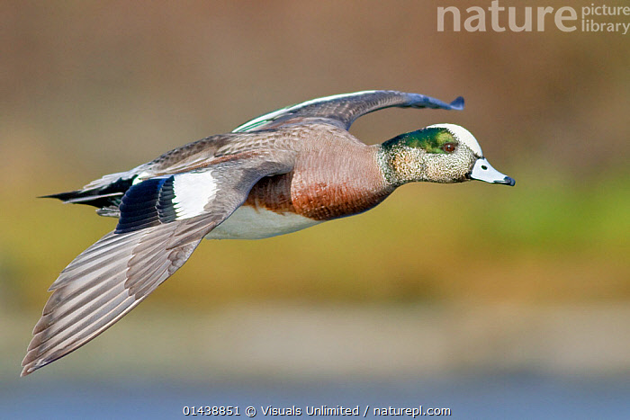 American Wigeon (Anas americana) male flying, Victoria, British Columbia, Canada.  ,  BIRDS,CANADA,COPYSPACE,DUCKS,FLIGHT,FLYING,MALES,NORTH AMERICA,PORTRAITS,PROFILE,VERTEBRATES,WATERFOWL  ,  Visuals Unlimited