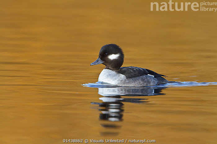 Bufflehead (Bucephala albeola) duckling swimming on a pond, Victoria, British Columbia, Canada.  ,  BABIES,BIRDS,CANADA,COPYSPACE,DUCKLINGS,DUCKS,JUVENILE,NORTH AMERICA,PORTRAITS,PROFILE,SWIMMING,VERTEBRATES,WATER,WATERFOWL,YOUNG  ,  Visuals Unlimited