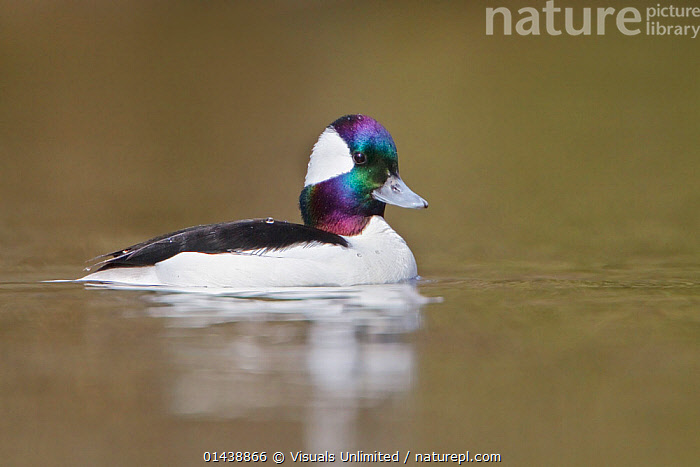 Bufflehead (Bucephala albeola) male swimming on a pond, Victoria, British Columbia, Canada.  ,  BIRDS,CANADA,COPYSPACE,CUTOUT,DUCKS,MALES,NORTH AMERICA,PORTRAITS,PROFILE,VERTEBRATES,WATER,WATERFOWL  ,  Visuals Unlimited