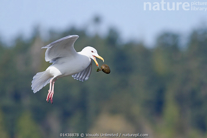 Glaucouswinged Gull (Larus glaucescens) flying and dropping egg from beak, Victoria, British Columbia, Canada, sequence 2/3  ,  BEHAVIOUR,BIRDS,CANADA,CARRYING,DROPPING,FLIGHT,FLYING,GULLS,LARIDAE,NORTH AMERICA,PREY,PROFILE,SEABIRDS,SEQUENCE,VERTEBRATES  ,  Visuals Unlimited