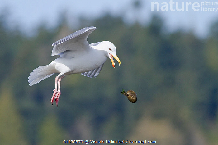 Glaucous winged Gull (Larus glaucescens) flying and dropping egg from beak, Victoria, British Columbia, Canada, sequence 3/3  ,  BIRDS,CANADA,CARRYING,FLIGHT,FLYING,GULLS,LARIDAE,NORTH AMERICA,PREY,PROFILE,SEABIRDS,SEQUENCE,VERTEBRATES  ,  Visuals Unlimited