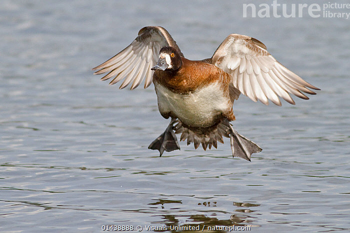 Lesser Scaup (Aythya affinis) female coming into land on water, Victoria, British Columbia, Canada.  ,  ACTION,BIRDS,CANADA,DUCKS,FEMALES,FLIGHT,FLYING,LANDING,NORTH AMERICA,VERTEBRATES,WATER,WATERFOWL  ,  Visuals Unlimited