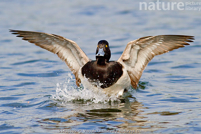 Lesser Scaup (Aythya affinis) male landing in water, Victoria, British Columbia, Canada.  ,  ACTION,BIRDS,CANADA,DUCKS,LANDING,MALES,NORTH AMERICA,VERTEBRATES,WATER,WATERFOWL  ,  Visuals Unlimited