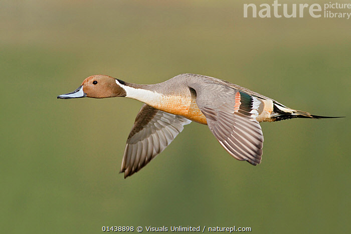 Pintail (Anas acuta) male flying, Victoria, British Columbia, Canada.  ,  ANATIDAE,BIRDS,CANADA,COPYSPACE,CUTOUT,DUCKS,FLIGHT,FLYING,MALES,NORTH AMERICA,PORTRAITS,PROFILE,VERTEBRATES,WATERFOWL  ,  Visuals Unlimited