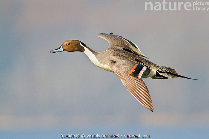 Pintail (Anas acuta) male flying in Victoria, British Columbia, Canada.  ,  ANATIDAE,BIRDS,CANADA,COPYSPACE,DUCKS,FLIGHT,FLYING,MALES,NORTH AMERICA,PORTRAITS,PROFILE,VERTEBRATES,WATERFOWL  ,  Visuals Unlimited