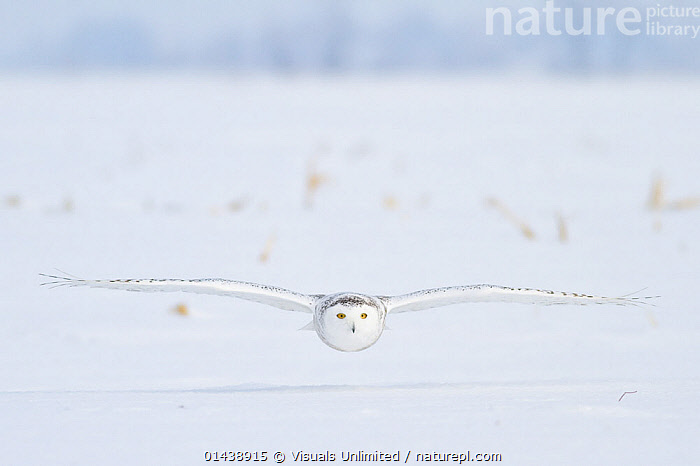 Snowy Owl (Bubo scandiacus) hunting for prey, flying low over snow covered field, Ontario, Canada.  ,  BEHAVIOUR,BIRDS,BIRDS OF PREY,CAMOUFLAGE,CANADA,FLIGHT,FLYING,GLIDING,HUNTING,LANDSCAPES,NORTH AMERICA,OWLS,SNOW,VERTEBRATES,WHITE,WINGS,WINGSPAN,WINTER,Raptor  ,  Visuals Unlimited