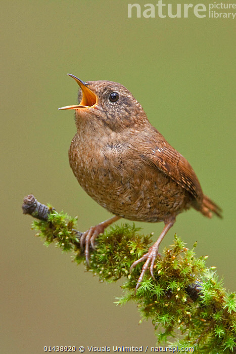Wren (Troglodytes troglodytes) male singing whilst perched on a branch in Victoria, British Columbia, Canada.  ,  BIRDS,CALLING,CANADA,COMMUNICATION,COPYSPACE,CUTOUT,MALES,NORTH AMERICA,PORTRAITS,PROFILE,SINGING,SONGBIRDS,TROGLODYTIDAE,VERTEBRATES,VERTICAL,VOCALISATION,WRENS  ,  Visuals Unlimited
