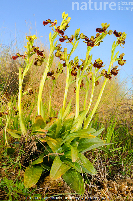 Mirror Orchid (Ophrys speculum) is one of the most beautiful orchids of the Mediterranean basin, Sicily.  ,  EUROPE,FLOWERING,FLOWERS,ITALY,MEDITERRANEAN,MONOCOTYLEDONS,ORCHIDACEAE,ORCHIDS,PLANTS,PORTRAITS,VERTICAL  ,  Visuals Unlimited