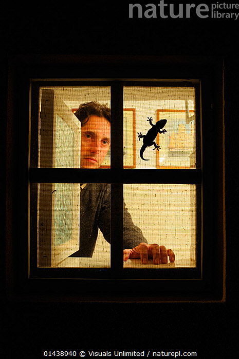 Moorish gecko (Tarentola mauritanica) are usual inhabitants of houses, silhouetted here on window frame with man watching from inside  ,  BUILDINGS,ENVIRONMENT,GECKOS,LIZARDS,NIGHT,OUTLINE,PEOPLE,REPTILES,SILHOUETTES,VERTEBRATES,VERTICAL,WILDLIFE WATCHING,WINDOWS,,Lizard,  ,  Visuals Unlimited
