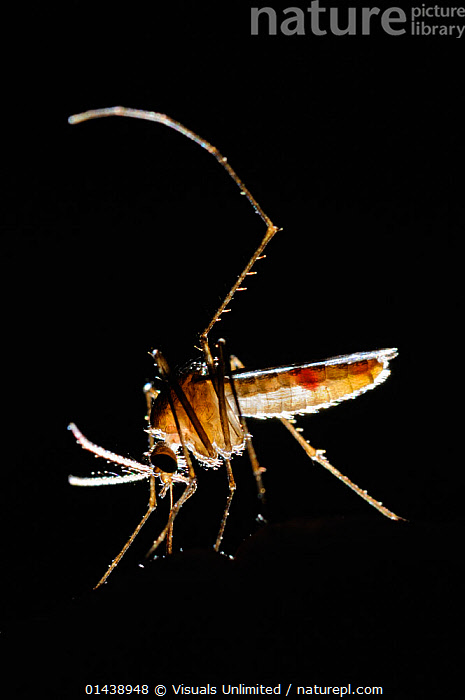 Mosquito (Culex pipiens) backlit while drinking blood., BACKLIT,BLACK BACKGROUND,CLOSE UPS,DIPTERA,FLIES,INSECTS,INVERTEBRATES,MACRO SHOTS,MOSQUITOES,NIGHT,PORTRAITS,PROFILE,VERTICAL, Visuals Unlimited
