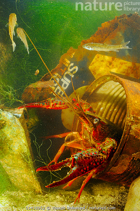 Louisiana Swamp Crayfish (Procambarus clarkii) hiding in a rusty can, an invasive species that can survive in highly polluted waters, Europe  ,  AQUATIC,ARTHROPODS,CAMBARIDAE,CRAWFISH,CRAYFISH,CRUSTACEANS,EUROPE,FRESHWATER,HIDING,INTRODUCED SPECIES,INVASIVE,INVERTEBRATES,UNDERWATER,VERTICAL  ,  Visuals Unlimited