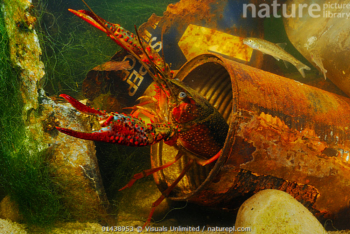 Louisiana Swamp Crayfish (Procambarus clarkii) hiding in a rusty can, an invasive species that can survive in highly polluted waters.  ,  AQUATIC,ARTHROPODS,CAMBARIDAE,CRAWFISH,CRAYFISH,CRUSTACEANS,EUROPE,FRESHWATER,INTRODUCED SPECIES,INVASIVE,INVERTEBRATES,UNDERWATER  ,  Visuals Unlimited