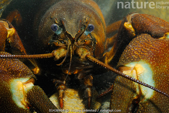 Signal Crayfish (Pacifastacus leniusculus), a species that has been introduced from the USA into Europe and Japan  ,  AQUATIC,ARTHROPODS,CAPTIVE,CLOSE UPS,CRAYFISH,CRUSTACEANS,FACES,FRESHWATER,HEADS,INTRODUCED SPECIES,INVASIVE,INVERTEBRATES,PORTRAITS,UNDERWATER  ,  Visuals Unlimited