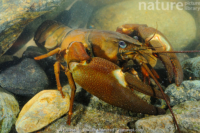Signal Crayfish (Pacifastacus leniusculus) a species that has been introduced from the USA into Europe and Japan  ,  AQUATIC,ARTHROPODS,CAPTIVE,CRAYFISH,CRUSTACEANS,FRESHWATER,INTRODUCED SPECIES,INVASIVE,INVERTEBRATES,PORTRAITS,UNDERWATER  ,  Visuals Unlimited