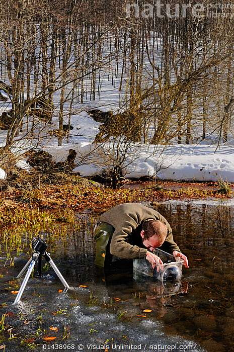Nature photographer at work in the icy water of a mountain pond taking pictures of Common Frogs mating (Rana temporaria), his feet surrounded by frozen egg masses, Europe.  ,  AMPHIBIANS,ANURA,AQUATIC,COLD,EGGS,EQUIPMENT,EUROPE,FRESHWATER,FROGS,FROZEN,LEISURE,MAN,MATING BEHAVIOUR,PEOPLE,PHOTOGRAPHER,PHOTOGRAPHY,PONDS,RANIDAE,SPLIT LEVEL,SPRING,SURFACE,VERTEBRATES,VERTICAL,WATER  ,  Visuals Unlimited