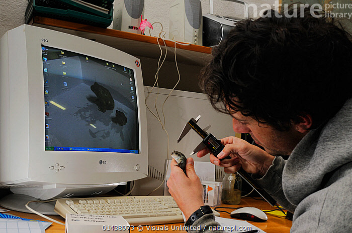 A herpetologist measuring a Common Spadefoot (Pleobates fuscus insubricus), one of the most threatened amphibians of Italy and it is the subject of many conservation projects.  ,  AMPHIBIANS,ANURA,CAPTIVE,COMPUTERS,CONSERVATION,EUROPE,INDOORS,ITALY,MAN,MEASURING,PEOPLE,RESEARCH,SCIENCE,SCIENTIFIC,SPADEFOOT TOADS,STUDY,STUDYING,TECHNOLOGY,TOADS,VERTEBRATES  ,  Visuals Unlimited
