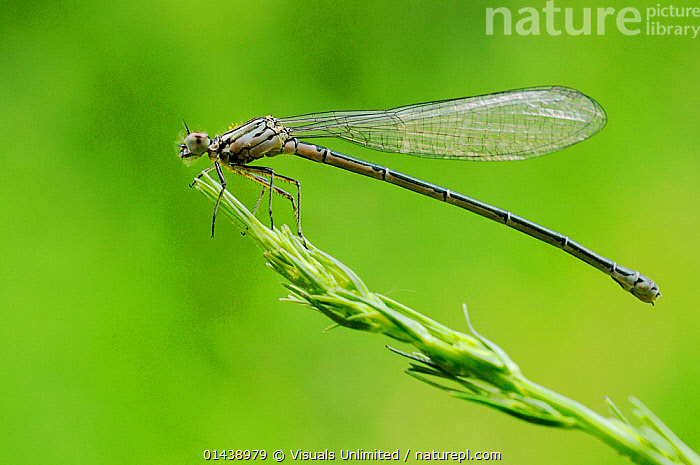 Dainty Damselfly (Coenagrion scitulum) freshly emerged female, Italy.  ,  ARTHROPODS,COPYSPACE,DAMSELFLIES,EUROPE,FEMALES,INSECTS,INVERTEBRATES,ITALY,ODONATA,PORTRAITS,PROFILE  ,  Visuals Unlimited