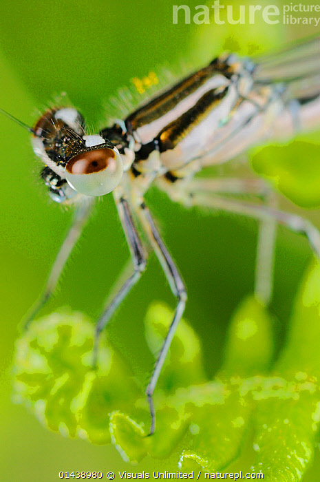 Dainty Damselfly (Coenagrion scitulum) close up of head, Italy  ,  ARTHROPODS,CLOSE UPS,DAMSELFLIES,EUROPE,INSECTS,INVERTEBRATES,ITALY,MACRO SHOTS,ODONATA,PORTRAITS,VERTICAL  ,  Visuals Unlimited