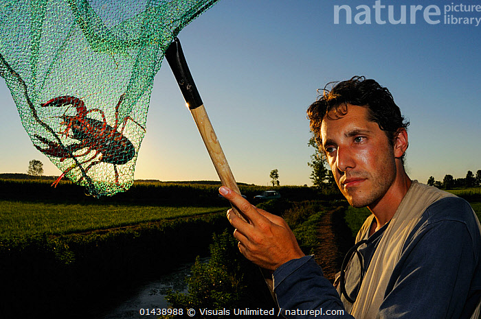 Louisiana Swamp Crayfish (Procambarus clarcki) captured in a net at dusk, Europe  ,  AQUATIC,ARTHROPODS,CAMBARIDAE,CAPTIVE,CAPTURED,CAUGHT,CRAWFISH,CRAYFISH,CRUSTACEANS,DUSK,EVENING,FRESHWATER,INTRODUCED SPECIES,INVASIVE,INVERTEBRATES,MAN,NETS,PEOPLE  ,  Visuals Unlimited