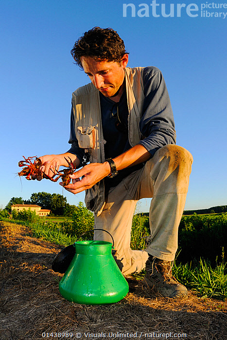 Scientist holding two Louisiana Swamp Crayfishes (Procambarus clarcki) an introduced species, Europe  ,  AQUATIC,ARTHROPODS,CAMBARIDAE,CAPTIVE,CAUGHT,CONSERVATION,CRAWFISH,CRAYFISH,CRUSTACEANS,EUROPE,FRESHWATER,INTRODUCED SPECIES,INVASIVE,INVERTEBRATES,MAN,PEOPLE,RESEARCH,SCIENCE,STUDYING,VERTICAL  ,  Visuals Unlimited