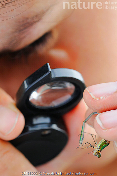 Scientist inspecting a Willow Emerald Damselfly with a magnifying glass (Lestes viridis), Europe  ,  ARTHROPODS,CAPTIVE,CLOSE UPS,CONSERVATION,DAMSELFLIES,EUROPE,IDENTIFICATION,INSECTS,INVERTEBRATES,MARKINGS,ODONATA,PEOPLE,SCIENCE,SCIENTIFIC,STUDY,VERTICAL  ,  Visuals Unlimited