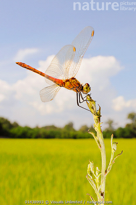 Spotted Darter (Sympetrum depressiusculum) male in a rice field, Italy.  ,  COPYSPACE,DRAGONFLIES,EUROPE,INSECTS,INVERTEBRATES,ITALY,LIBELLULIDAE,MALES,ODONATA,PORTRAITS,PROFILE,RESTING,VERTICAL  ,  Visuals Unlimited