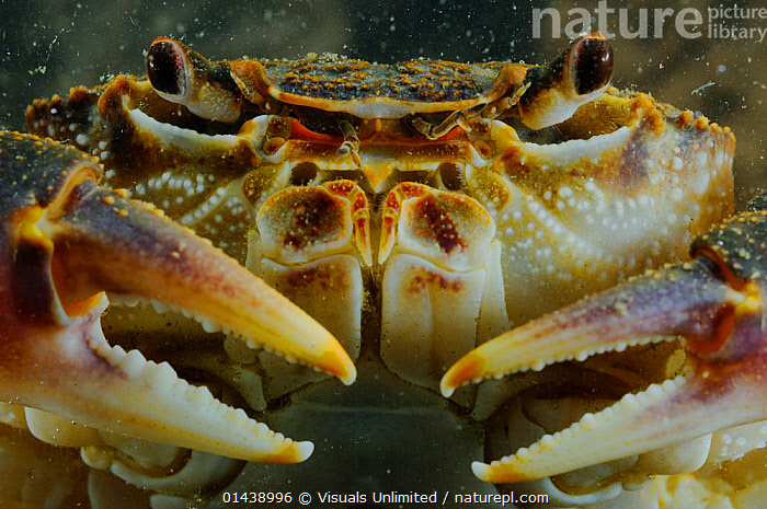 Freshwater Crab (Potamon fluviatile) close up portrait, Italy.  ,  ARTHROPODS,CLAWS,CLOSE UPS,CRABS,CRUSTACEANS,EUROPE,FACES,HEADS,INVERTEBRATES,ITALY,PORTRAITS,RIVER CRABS,UNDERWATER  ,  Visuals Unlimited