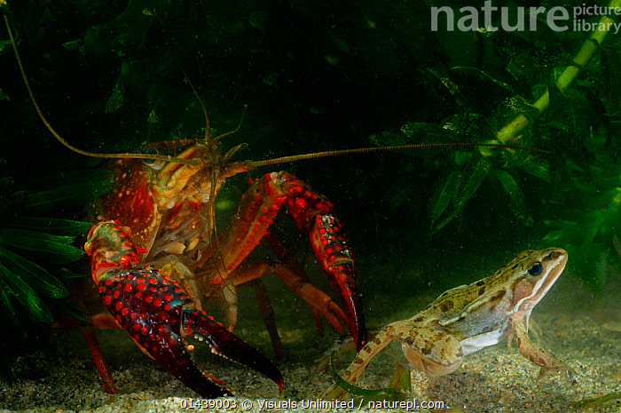 Louisiana Swamp Crayfish (Procambarus clarkii) preying on frog, captive sequence 2/2  ,  AQUARIUM,ARTHROPODS,CAMBARIDAE,CAPTIVE,CRAWFISH,CRAYFISH,CRUSTACEANS,ENVIRONMENT,FRESHWATER,FROGS,INTRODUCED SPECIES,INVASIVE,INVERTEBRATES,MIXED SPECIES,PREDATOR,PREY,SEQUENCE,UNDERWATER  ,  Visuals Unlimited