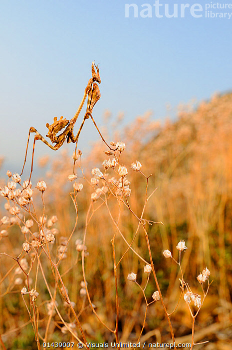 Praying / Conehead Mantis nymph (Empusa pennata), Italy  ,  ARTHROPODS,COPYSPACE,EUROPE,GRASSLAND,INSECTS,INVERTEBRATES,ITALY,JUVENILE,MANTIDS,MANTODEA,NYMPH,VERTICAL,YOUNG  ,  Visuals Unlimited