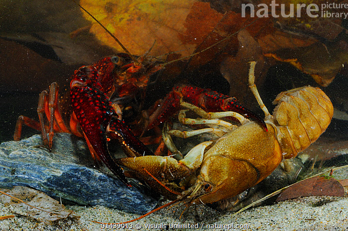 Introduced and invasive Louisiana Swamp Crayfish (Procambarus clarkii) killing native White clawed Crayfish (Austropotamobius pallipes), Europe, captive  ,  AGGRESSIVE,AQUATIC,ARTHROPODS,CAMBARIDAE,CAPTIVE,CRAWFISH,CRAYFISH,CRUSTACEANS,EUROPE,FRESHWATER,INTRODUCED SPECIES,INVASIVE,INVERTEBRATES,KILLING,MIXED SPECIES,PREDATION,UNDERWATER,Behaviour  ,  Visuals Unlimited