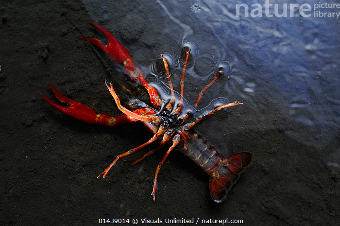 Louisiana Swamp Crayfish (Procambarus clarkii) even this strong species can be killed by metal polluted water, Europe  ,  ARTHROPODS,CAMBARIDAE,CRAWFISH,CRAYFISH,CRUSTACEANS,DEAD,ENVIRONMENTAL,FRESHWATER,INTRODUCED SPECIES,INVASIVE,INVERTEBRATES,METALS,POLLUTION,WATER  ,  Visuals Unlimited