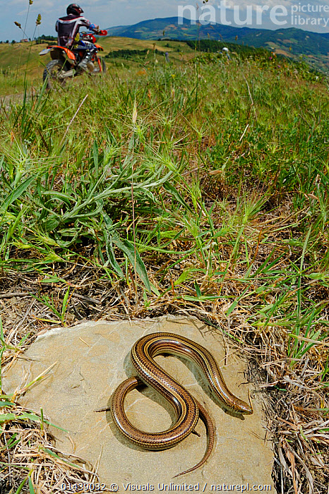 Three toed Skink (Chalcides chalcide) basking near a trail used by bikers, Italy.  ,  BASKING,BEHAVIOUR,BIKING,EUROPE,ITALY,LEISURE,LIZARDS,PEOPLE,REPTILES,ROCKS,SKINKS,SPORTS,SUNNING,THERMOREGULATION,VERTEBRATES,VERTICAL,,Lizards,,,Lizards,  ,  Visuals Unlimited