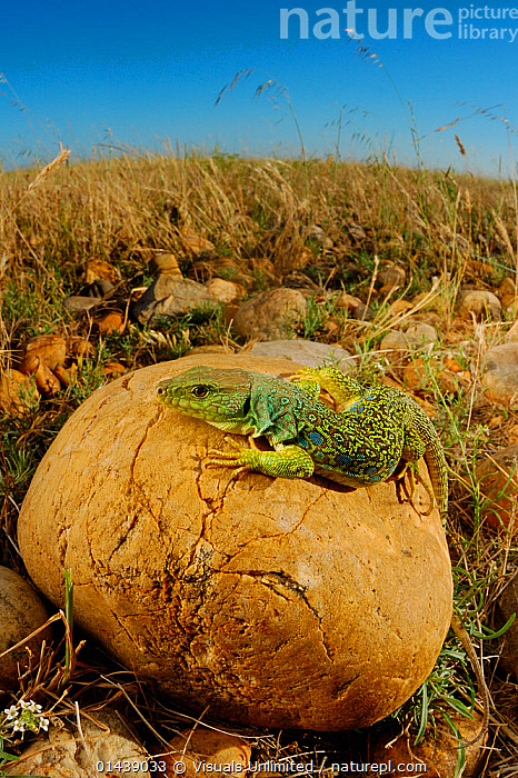 Ocellated Lizard (Timon lepidus) is one of the most huge and beautiful lizards of Europe  ,  BASKING,EUROPE,HABITAT,LIZARDS,PORTRAITS,PROFILE,REPTILES,ROCKS,SUNNING,THERMOREGULATION,VERTEBRATES,VERTICAL,WARMTH  ,  Visuals Unlimited