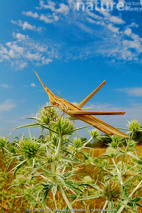 Nosed / Mediterranean Slant-faced Grasshopper (Acrida ungarica) in habitat, Italy.  ,  EUROPE,GRASSHOPPERS,INSECTS,INVERTEBRATES,ITALY,ORTHOPTERA,PORTRAITS,PROFILE,SHORT HORNED GRASSHOPPERS,VERTICAL  ,  Visuals Unlimited