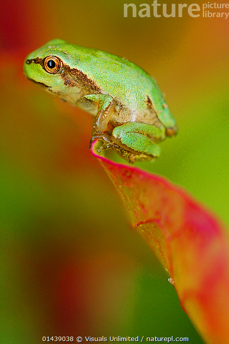 Italian Tree Frog (Hyla intermedia) on tip of a leaf, Italy.  ,  AMPHIBIANS,ANURA,COPYSPACE,EUROPE,FROGS,ITALY,PORTRAITS,PROFILE,TREE FROGS,VERTEBRATES,VERTICAL  ,  Visuals Unlimited