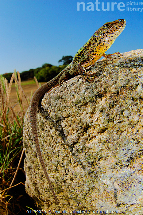 Bocage's wall Lizard (Podarci bocagei) male basking on a stone, Portugal.  ,  BASKING,BEHAVIOUR,EUROPE,LIZARDS,MALES,PORTRAITS,PORTUGAL,PROFILE,REPTILES,ROCKS,SUNNING,THERMOREGULATION,VERTEBRATES,VERTICAL,WALL LIZARDS  ,  Visuals Unlimited