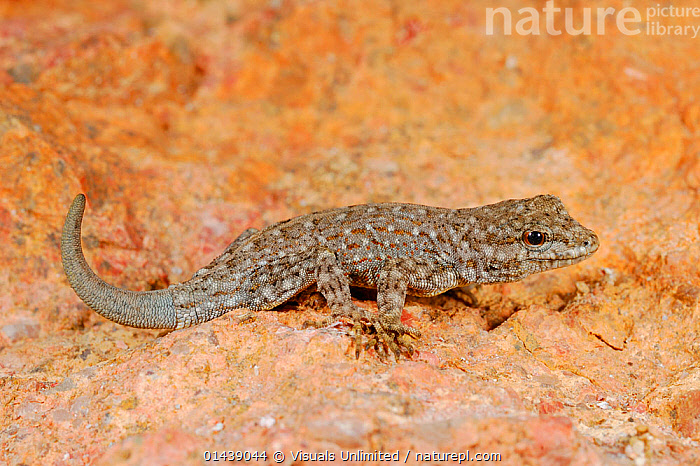 Blandford's Semaphore Rock Gecko (Pristurus rupestris), mountains of Yemen  ,  ARABIA,GECKOS,LIZARDS,MIDDLE EAST,PORTRAITS,PROFILE,REPTILES,VERTEBRATES,YEMEN,,Lizard,  ,  Visuals Unlimited