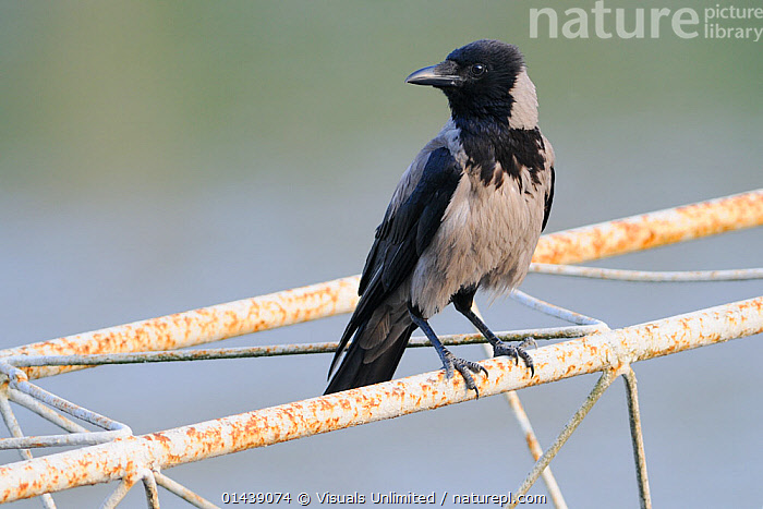 Hooded Crow (Corvus cornix) in an urban environment, Europe  ,  BIRDS,CORVIDAE,CROWS,EUROPE,PROFILE,SONGBIRDS,VERTEBRATES,WIRES,Corvids  ,  Visuals Unlimited