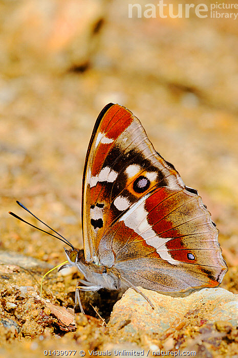 Purple Emperor Butterfly (Apatura iris) sucking salts from the ground, Europe  ,  ARTHROPODS,BEHAVIOUR,BUTTERFLIES,EUROPE,FEEDING,GROUND,INSECTS,INVERTEBRATES,LEPIDOPTERA,PATTERNS,PROFILE,SALTS ,VERTICAL,WINGS  ,  Visuals Unlimited
