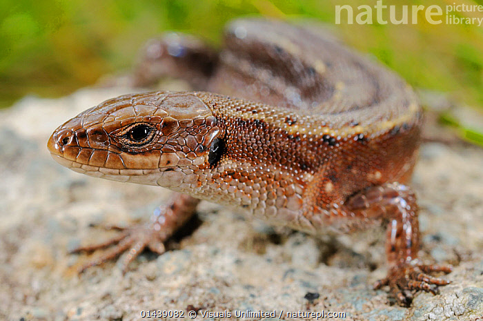 Viviparous Lizard (Lacerta vivipara), Alps, Italy  ,  ALPS,COMMON LIZARD,EUROPE,HIGHLANDS,ITALY,LIZARDS,PORTRAITS,REPTILES,VERTEBRATES,ZOOTOCA VIVIPARA  ,  Visuals Unlimited