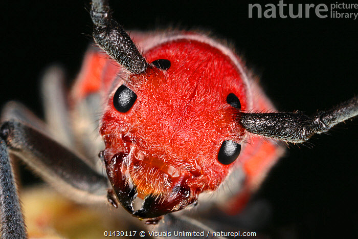 Eastern / Red Milkweed longhorn Beetle (Tetraopes tetraophthalmus) head portrait, USA  ,  ARTHROPODS,BEETLES,CLOSE UPS,COLEOPTERA,CRYPTIC,FACES,HEADS,INSECTS,INVERTEBRATES,LONGHORN BEETLES,LOOKING AT CAMERA,NORTH AMERICA,PORTRAITS,RED,USA  ,  Visuals Unlimited