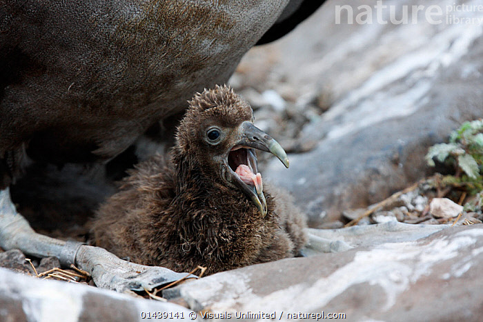 Waved Albatross (Diomedea irrorata) chick on nest calling for food, Galapagos Islands  ,  ALBATROSSES,BABIES,BIRDS,CALLING,CHICKS,COMMUNICATION,CRITICALLY ENDANGERED,DIOMEDEA IRRORATA,DIOMEDIEDAE,ECUADOR,GALAPAGOS,HUNGRY,ISLANDS,JUVENILE,MARINE,NESTS,SEABIRDS,SOUTH AMERICA,VERTEBRATES,VOCALISATION,YOUNG,Concepts  ,  Visuals Unlimited